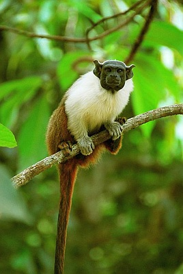 Pied tamarin (photo by Whaldener Endo via Wikimedia Commons)