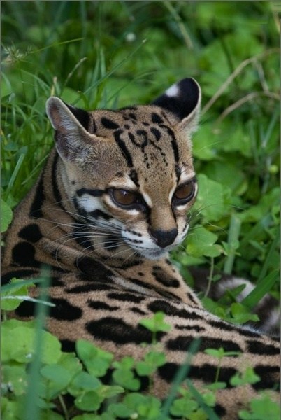 "Margay cat or ""tree ocelot"" (photo from iStockphoto/Jeff Grabert via Science Daily)"