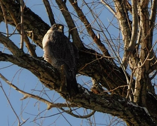 Female peregrine, Hope, perched in a tree in Tarentum, 27 Feb 2015 (photo by Marge Van Tassel)