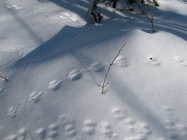 Deer mouse and squirrel tracks in the snow (photo from Wikimedia Commons)