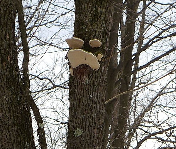 Shelf mushrooms make a face on this tree (photo by Kate St. John)
