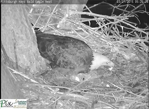 Female bald eagle lifts eggshell at Hays (screenshot from the Hays bald Eaglecam)