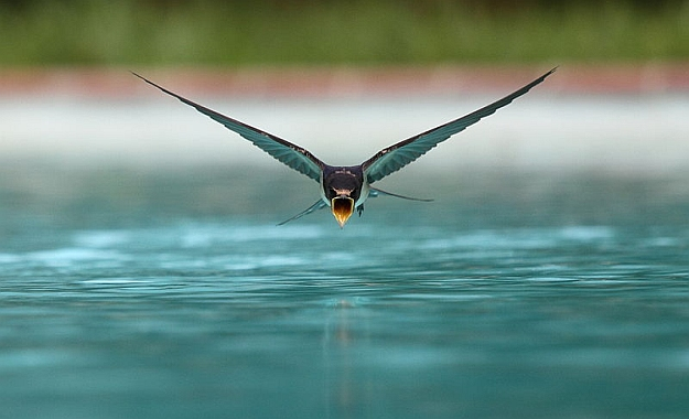 Swallow drinking from a swimming pool, Wikimedia Picture of the Year 3rd Place 2013 (photo from Wikimedia Commons)