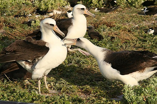 Laysan albatross adults dance (photo from Wikimedia Commons)