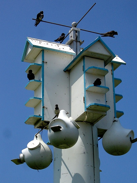 Purple Martin house, Cape May Point, NJ (photo from Wikimedia Commons)
