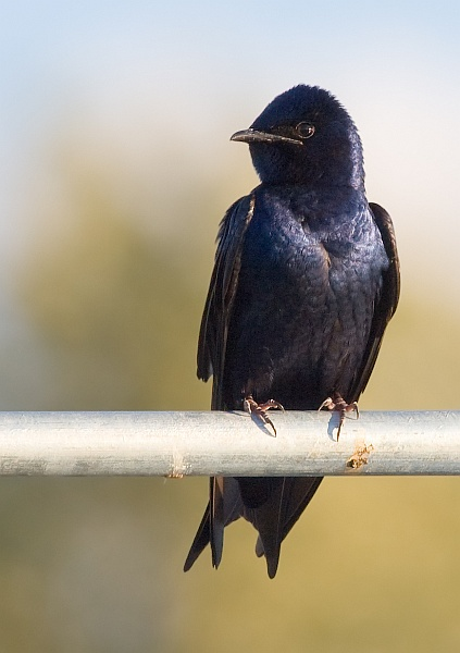 Adult male purple martin (photo by Cajay on Wikimedia Commons)