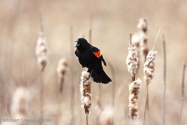 Red-winged blackbird singing (photo by Bobby Greene)
