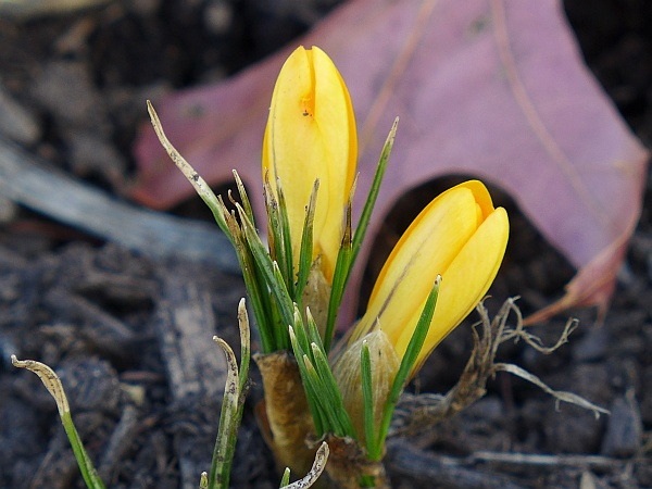 Crocuses at Phipps, 18 March 2015 (photo by Kate St. John)