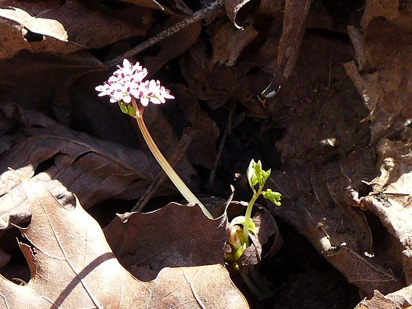 Harbinger of Spring (photo by Kate St. John)