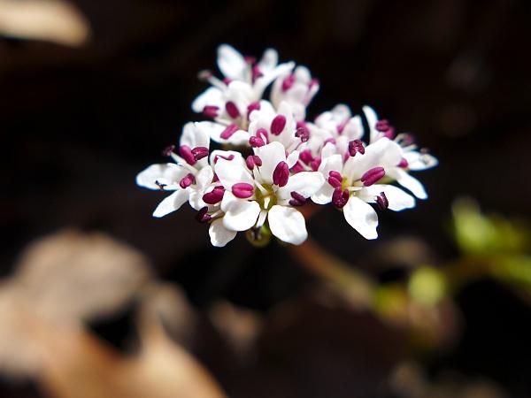 Harbinger of Spring, Cedar Creek, 29 March 2015 (photo by Kate St. John)