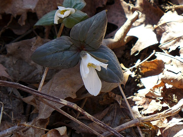 Snow trillium, 29 March 2015, Cedar Creek (photo by Kate St. John)