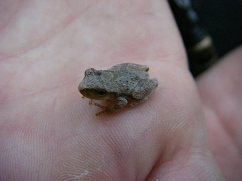 Spring peeper found at Sault College woodlot, Algoma District, Ontario, Canada (photo from Wikimedia Commons)