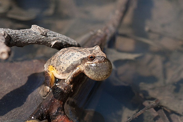 Spring peeper calling in the Ozarks (photo by Justin Meissen via Wikimedia Commons)