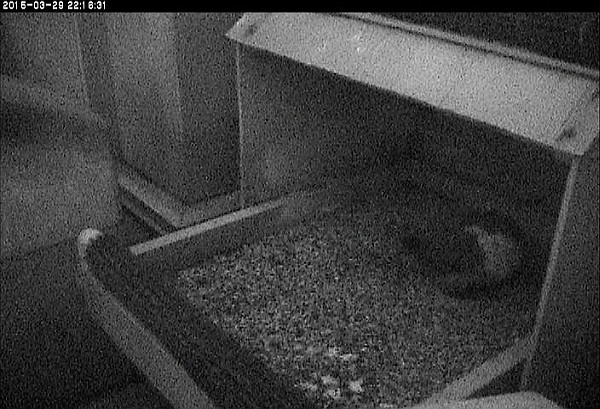 Dorothy roosting at the nest, 29 March 2015 (photo from the National Aviary falconcam at University of Pittsburgh)
