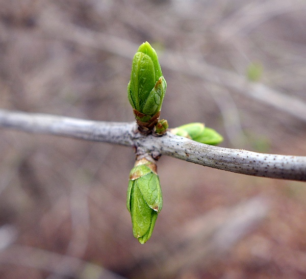 Incipient forsythia leaves, 25 March 2015 (photo by Kate St. John)
