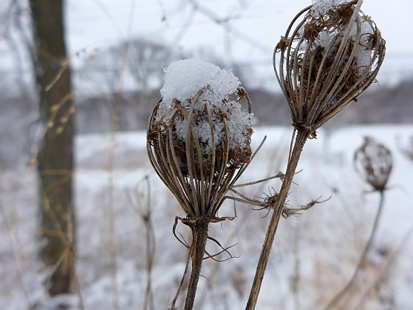 Snow on Queen Anne's lace, 5 March 2015 (photo by Kate St. John)