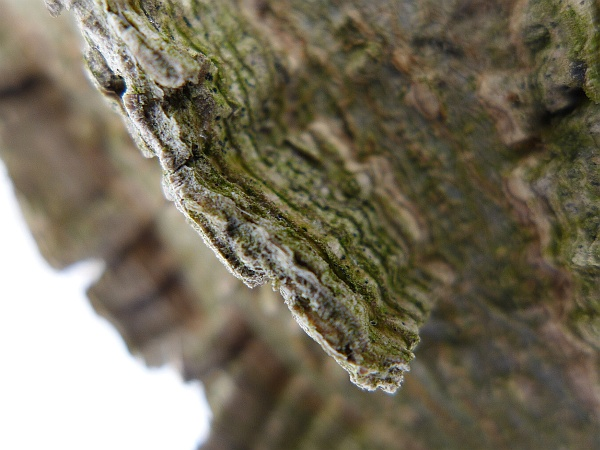 Hackberry bark in winter (photo by Kate St. John)