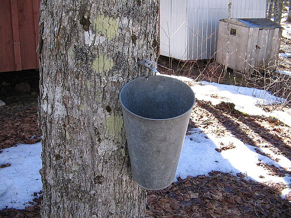 Maple sugar bucket hanging on a tree (photo from Wikimedia Commons)