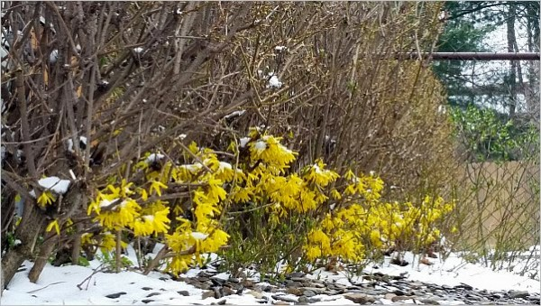 Forsythia is only blooming near the ground in Du Bois, PA, 23 April 2015 (photo by Marianne Atkinson)