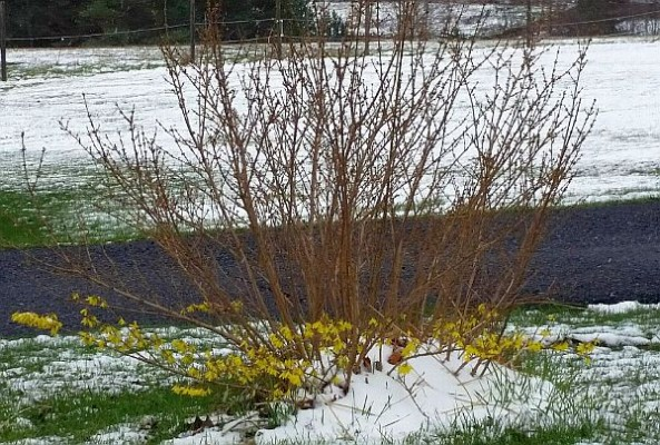 Tops of forsythia are dead in Du Bois PA, Spring 2015 (photo by Marianne Atkinson)