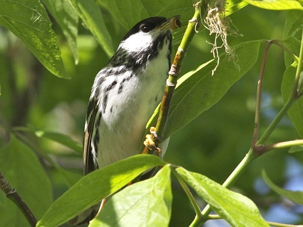 Blackpoll warbler gleaning insects from a boxelder (photo by Chuck Tague)