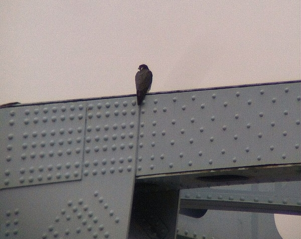 One of two peregrines on the Elizabeth Bridge, 26 March 2015 (photo by Jim Hausman)