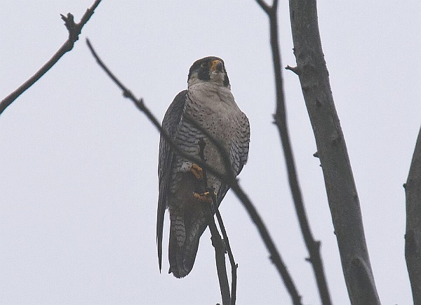 Peregrine in Highland Park ,March 2015 (photo by Maury Burgwin)