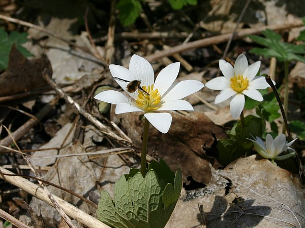 Bloodroot blooming at Cedar Creek Park, Westmoreland County, 19 April 2014 (photo by Kate St. John)