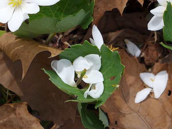 Bloodroot lost its petals, Wingfield Pines, 15 April 2015 (photo by Kate St. John)