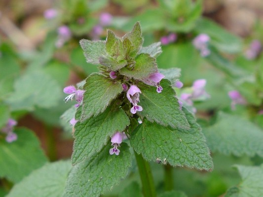 Purple deadnettle (Lamium purpureum), everywhere in Pittsburgh, 15 April 2015 (photo by Kate St. John)