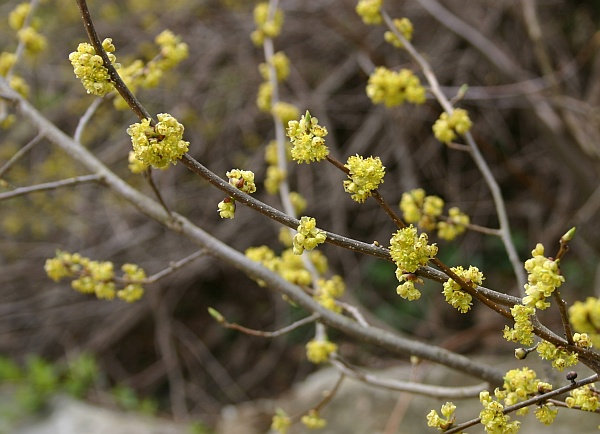 Spicebush in bloom, Schenley Park 2013 (photo by Kate St. John)