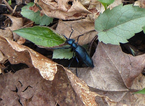 Blister beetle, Grove Run Trail, Linn Run State Park, 19 April 2015 (photo by Kate St. John)