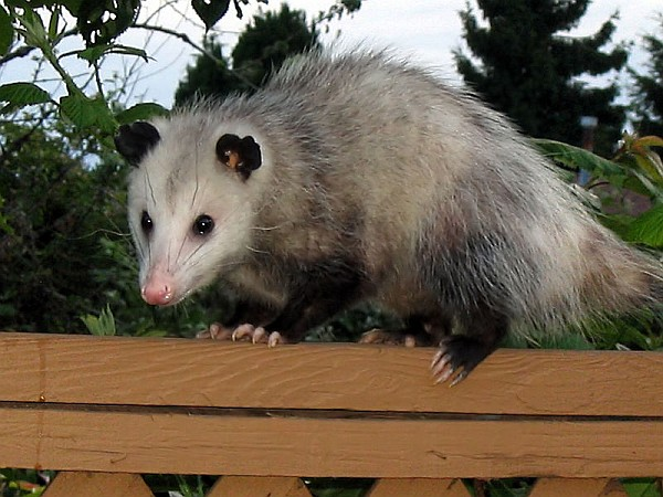 Virginia opossum (photo by Drcyrus from Wikimedia Commons)