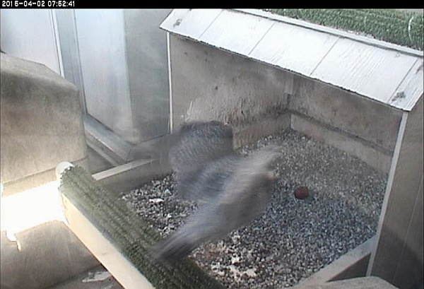 E2 arrives to guard the egg (snapshot from the National Aviary falconcam ay University of Pittsburgh)