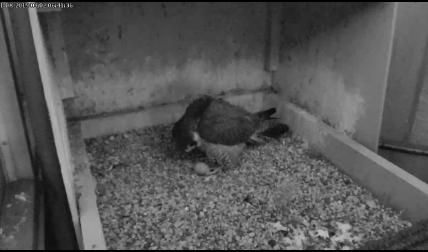 Dorothy inspects her egg, 2 April 2015, 6:41am (snapshot from the Naitonal Aviary falconcam at University of Pittsburgh)