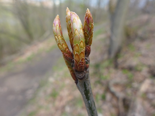 Red oak buds about to burst, 19 April 2015 (photo by Kate St. John)