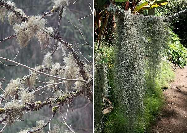 Old Man's Beard lichen and Spanish moss (photos from Wikimedia Commons)
