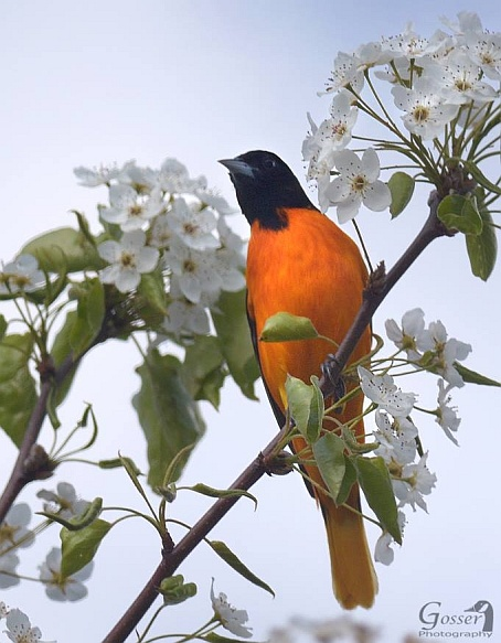 Baltimore oriole (photo by Steve Gosser)