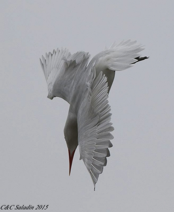 Caspian tern diving, Scranton Flats on the Cuyahoga River