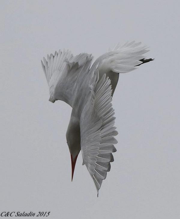 Caspian tern diving, Scranton Flats on the Cuyahoga River