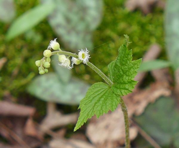 Miterwort blooming (photo by Kate St. John)