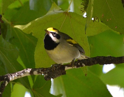 Golden-winged warbler (photo from Wikimedia Commons)