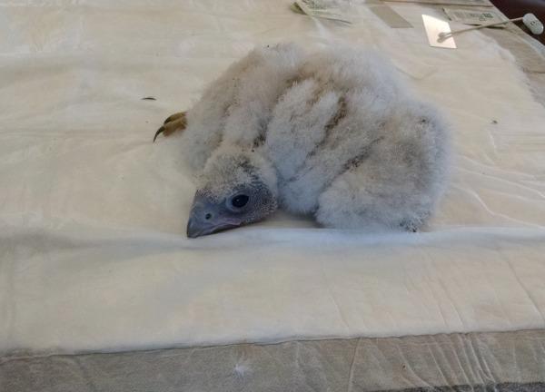 Pitt Peregrine chick (photo by Kate St. John)