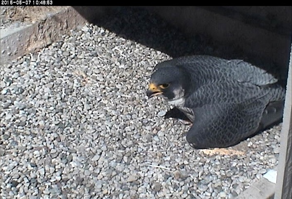 E2 panting at the nest in the heat, 7 Mat 2015, 10:48am (photo from the National Aviary falconcam at Univ of Pittsburgh)