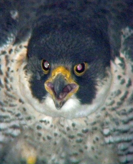 An angry Storm. The female peregrine at the Westinghouse Bridge (photo by Tom Keller, PA Game Commission)