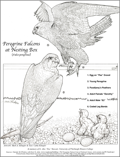 Peregrine falcon coloring page (illustration by Mark Klingler, text by Cathy Klingler)