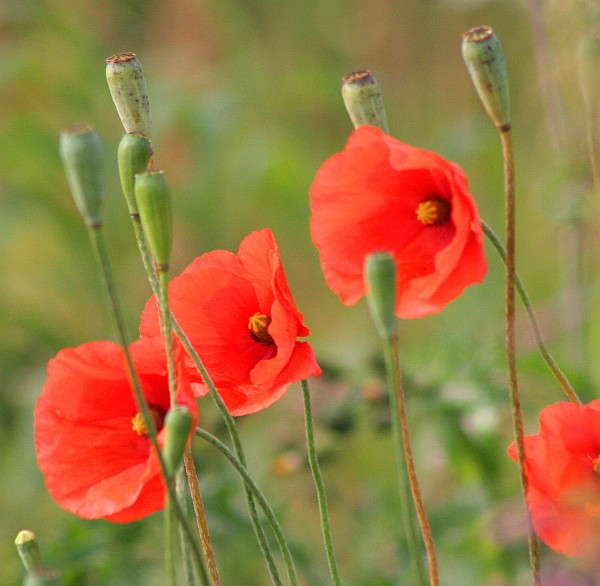 Red poppies (photo from Lest We Forget via Wikimedia Commons)