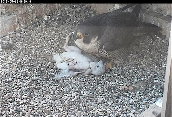 Dorothy with chick on its back, 25 May 2015 (photo from the National Aviary snapshot cam at Univ of Pittsburgh)