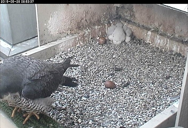 Chick is in the normal roosting position for young birds his age (photo from the National Aviary snapshot cam at Univ of Pittsburgh)