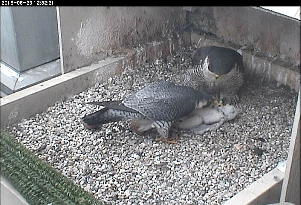 E2 examines the chick. He and Dorothy confer (photo from the National Aviary snapshot cam at Univ of Pittsburgh)